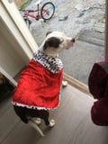 Cão do Queens Imagem de Stock Royalty Free