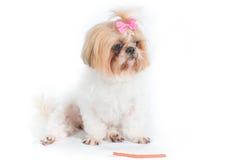 Cão do qui-tzu em um fundo branco Fotos de Stock