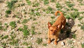 Cão do rancho de Cihuahua foto de stock