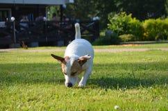 Cão do rassel de Jack Imagens de Stock Royalty Free