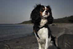 Cão do rei Charles Cavalier fotos de stock royalty free