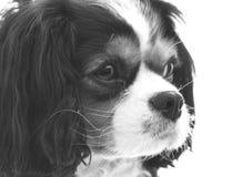 Cão do rei Charles Cavalier imagens de stock royalty free