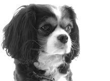 Cão do rei Charles Cavalier imagem de stock royalty free