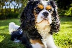 Cão do rei Charles Cavalier Foto de Stock