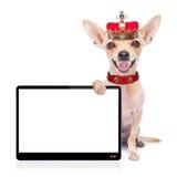 Cão do rei da coroa Foto de Stock