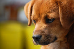 Cão do retrato que olha para baixo Imagens de Stock