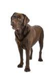 Cão do Retriever de Brown Labrador foto de stock royalty free