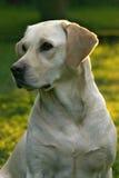 Cão do retriever de Labrador Imagem de Stock