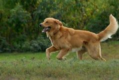 Cão do retriever dourado Imagem de Stock