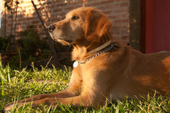 Cão do retriever dourado imagens de stock royalty free