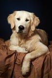 Cão do retriever dourado Foto de Stock Royalty Free