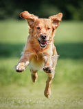 Cão do retriever dourado Fotografia de Stock Royalty Free