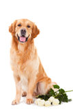 Cão do retriever dourado com as rosas brancas no branco Imagens de Stock