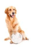 Cão do retriever dourado com a esfera no branco Foto de Stock