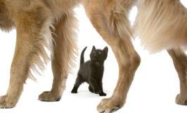 Cão do Retriever dourado com o gatinho velho de 6 semanas Foto de Stock Royalty Free