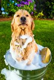 Cão do Retriever dourado infeliz com seu banho Fotos de Stock Royalty Free