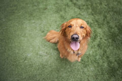 Cão do Retriever dourado na grama Fotos de Stock