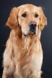 Cão do retriever dourado no preto Fotos de Stock Royalty Free