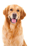 Cão do retriever dourado que senta-se no branco isolado
