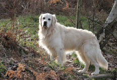 Cão do Retriever em uma floresta Imagens de Stock Royalty Free