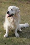 Cão do Retriever sentado na grama Foto de Stock Royalty Free