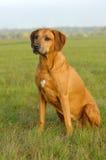 Cão do ridgeback de Rhodesian Imagem de Stock Royalty Free