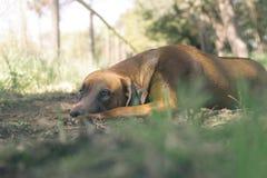 Cão do ridgeback de Rhodesian que descansa na terra foto de stock