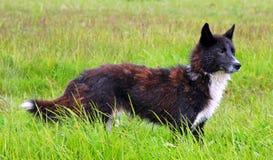 Cão do russo Imagem de Stock Royalty Free