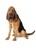 Cão do sabujo do puro-sangue Fotos de Stock