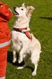Cão do salvamento Imagens de Stock Royalty Free