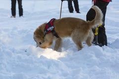 Cão do salvamento da montanha fotografia de stock royalty free