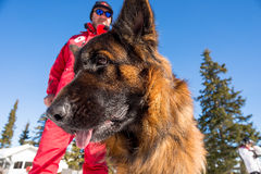 Cão do salvamento no serviço de salvamento da montanha Imagens de Stock