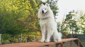Cão do Samoyed vídeos de arquivo