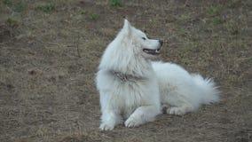 Cão do Samoyed video estoque