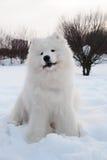 Cão do Samoyed Foto de Stock Royalty Free