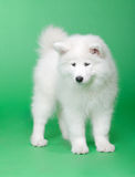 Cão do Samoyed Fotografia de Stock