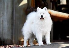 Cão do Samoyed Foto de Stock