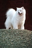 Cão do Samoyed Fotos de Stock