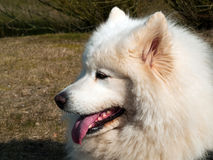 Cão do Samoyed Imagem de Stock Royalty Free