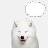 Cão do Samoyed isolado no fundo branco fotos de stock