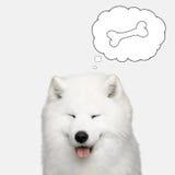 Cão do Samoyed isolado no fundo branco Imagens de Stock Royalty Free