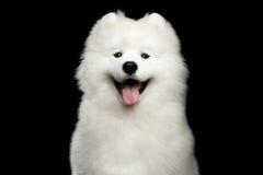 Cão do Samoyed isolado no fundo preto Foto de Stock Royalty Free