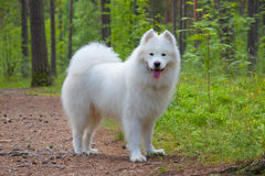 Cão do Samoyed na madeira Fotos de Stock Royalty Free