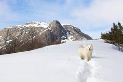 Cão do Samoyed nas montanhas. Imagem de Stock Royalty Free