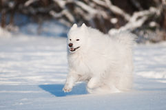 Cão do Samoyed que funciona na neve Foto de Stock Royalty Free