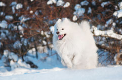 Cão do Samoyed que funciona na neve Fotografia de Stock Royalty Free