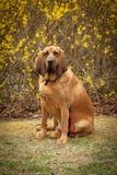 Cão do sangue Fotografia de Stock