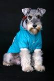 Cão do Schnauzer Fotografia de Stock