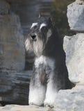 Cão do Schnauzer foto de stock