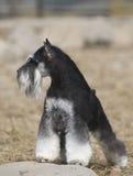 Cão do Schnauzer imagem de stock